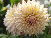 Jem Fine Arts Photos - Dahlia named Valley Porcupine by J McCombie