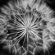 Hairy Stem Framed Prints - Dandelion Framed Print by Stylianos Kleanthous