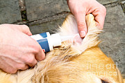 Dog Grooming Print by Photo Researchers, Inc.