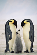 Animals Love Framed Prints - Emperor Penguin Aptenodytes Forsteri Framed Print by Konrad Wothe