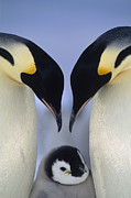 Animals Love Framed Prints - Emperor Penguin Aptenodytes Forsteri Framed Print by Tui De Roy