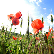 Blurry Posters - Field of poppies. Poster by Bernard Jaubert