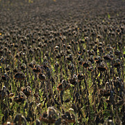 Drought Posters - Field of sunflowers Poster by Bernard Jaubert