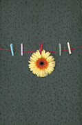 Yellow Line Photo Prints - Gerbera Print by Joana Kruse