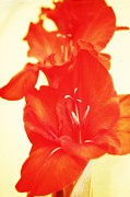 Gladiolas Digital Art Prints - Gladiola Print by Cathie Tyler