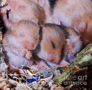 Syrian Hamster Photos - Golden Hamster by Jane Burton