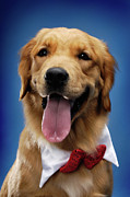 Animals At Christmas Posters - Golden Retriever Poster by Oleksiy Maksymenko