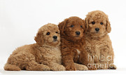 Cross Breed Prints - Goldendoodle Puppies Print by Mark Taylor