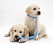 Dog Walking Photo Prints - Goldidor Retriever Puppies Print by Jane Burton