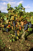 Grape Vineyards Metal Prints - Grapes growing on vine Metal Print by Bernard Jaubert