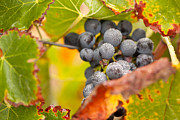 Vino Prints - Grapes on the Vine Print by Andy Dean