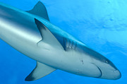 New Britain Posters - Gray Reef Shark. Papua New Guinea Poster by Steve Jones