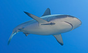Reef Sharks Posters - Gray Reef Shark With Remora, Papua New Poster by Steve Jones
