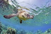 Gentle - Green sea turtle by Monica and Michael Sweet - Printscapes