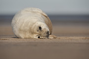 Cold Play Posters - Grey Seal Pup Poster by Andy Astbury