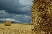 Hay Bale Photos - Hay bales in harvested corn field by Sami Sarkis
