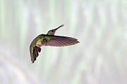 Side View Art - Hummingbird by David Tipling