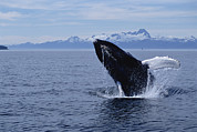 Frontal Metal Prints - Humpback Whale Megaptera Novaeangliae Metal Print by Flip  Nicklin