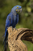 Hyacinth Macaw Prints - Hyacinth Macaw Anodorhynchus Print by Pete Oxford
