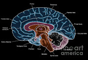 Lobe Framed Prints - Illustration Of Human Brain Framed Print by Science Source