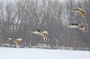 Mallards Photos - 4 In A Row by Robert Pearson