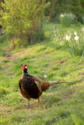 Pheasant Photos - In My Magic Garden by Angel  Tarantella