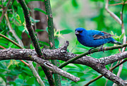 Indigo Framed Prints - Indigo Bunting Framed Print by Thomas R Fletcher
