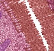 Intestinal Prints - Intestinal Microvilli, Tem Print by Steve Gschmeissner