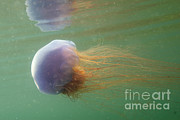 Jellyfish Framed Prints - Lions Mane Jellyfish Framed Print by Ted Kinsman