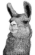 Draw Drawings Framed Prints - Llama Framed Print by Karl Addison