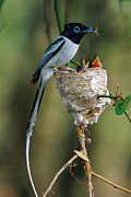 Morph Photo Posters - Madagascar Paradise Flycatcher Poster by Cyril Ruoso