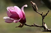 Tulips Pyrography Posters - Magnolia World Of Beauty Poster by Valia Bradshaw