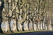 Kingston Prints - Mature Beech Trees (fagus Sylvatica) Print by Adrian Bicker