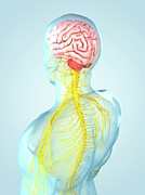 Human Internal Organ Art - Nervous System, Artwork by Sciepro