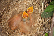 Baby Bird Framed Prints - Newborn Robin Nestlings Framed Print by Ted Kinsman