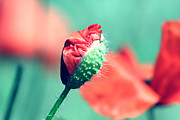 Mohnblume Prints - Poppy Print by Falko Follert