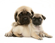 Mastiff Pup Posters - Pug And English Mastiff Puppies Poster by Jane Burton