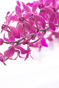 Moth Orchid Photos - Purple Orchid Bunch by Atiketta Sangasaeng