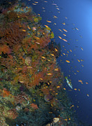 Tropical Fish Posters - Reef Scene With Coral And Fish Poster by Mathieu Meur
