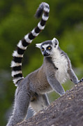 Primates Posters - Ring-tailed Lemur Lemur Catta Portrait Poster by Pete Oxford