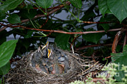 Robin Photos - Robin Nestlings by Ted Kinsman