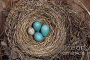 Cowbird Posters - Robins Nest And Cowbird Egg Poster by Ted Kinsman