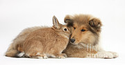 Rough Collie Pup With Rabbit Print by Mark Taylor