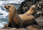 Sealions Prints - Sealions Print by Marc Bittan