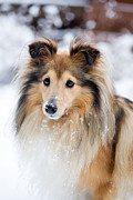 Snow Dog Posters - Sheltie Poster by Kati Molin