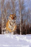 Orange Coat Posters - Siberian Tiger Poster by John Hyde - Printscapes