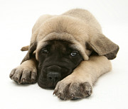 English Mastiffs Framed Prints - Sleeping Puppy Framed Print by Jane Burton