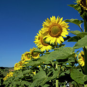 Asteraceae Photos - Sunflowers  by Bernard Jaubert