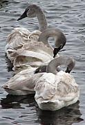 Swans Photos - 4 Swans by Laurie With