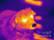 Canis Familiaris Framed Prints - Thermogram Of A Dog Framed Print by Ted Kinsman